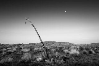 Moon and Falling Joshua Tree