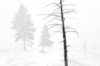 Dead Tree in Fog