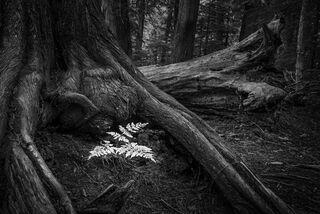 Fern in Tree Roots