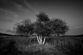 Four Birch in Wind