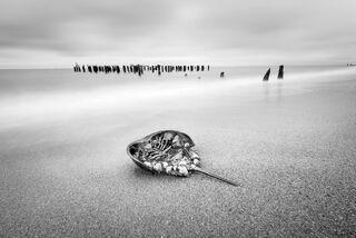 Horshoe Crab, Staten Island, New York