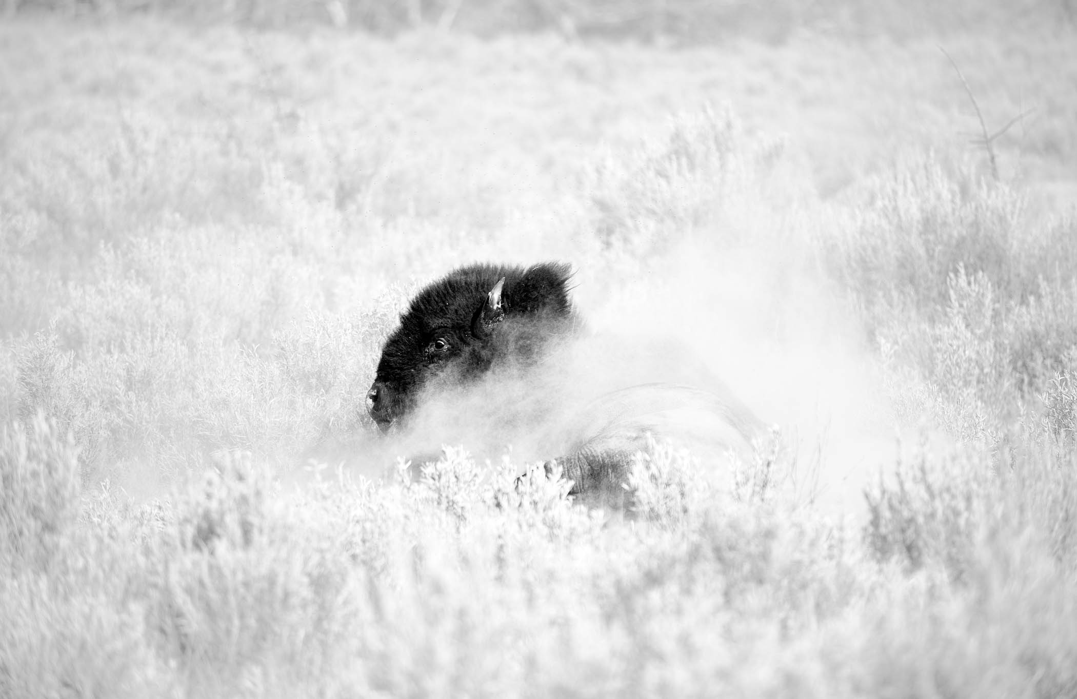 Bison Rolling in Dirt