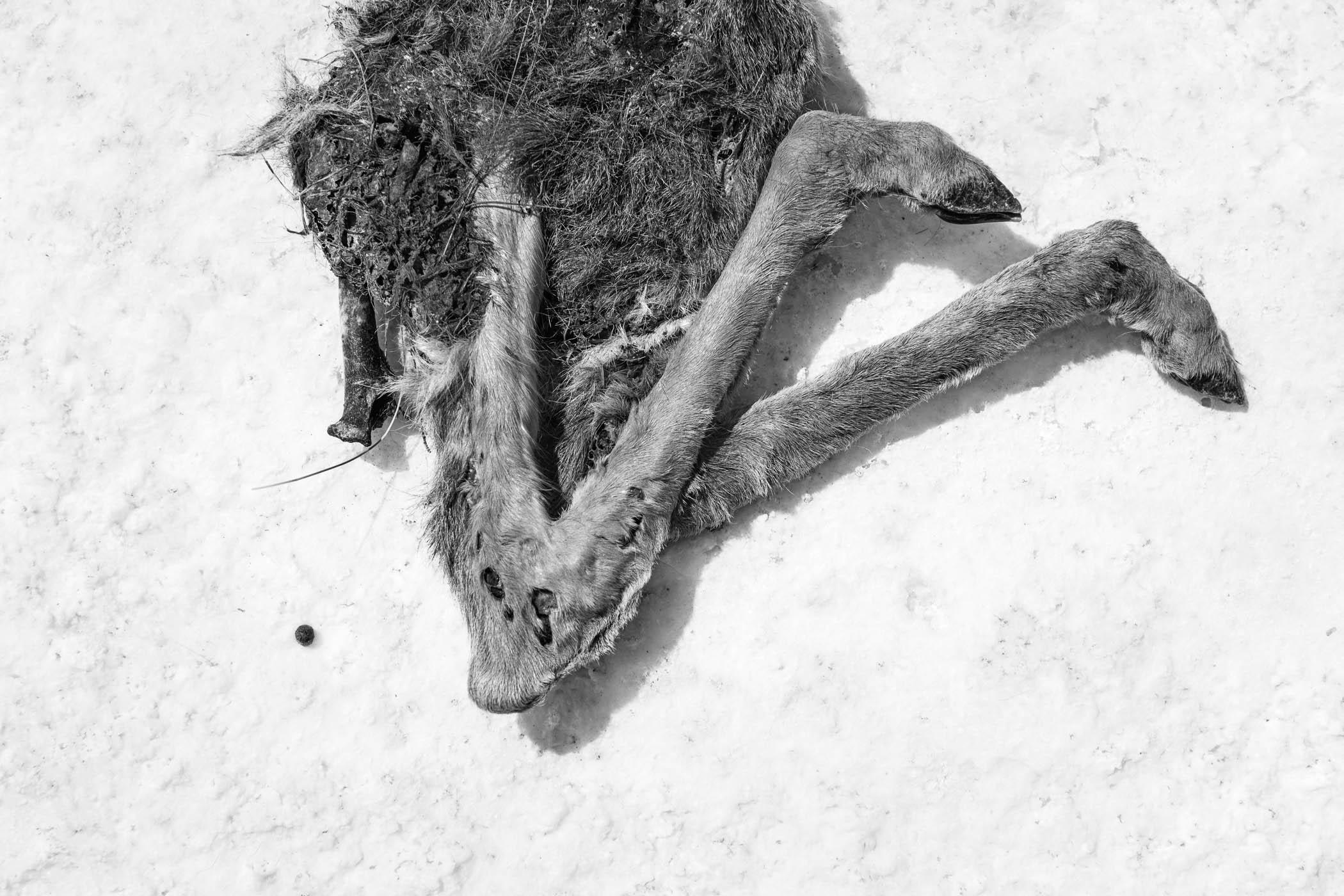 Fawn in Salt Flat, Wyoming